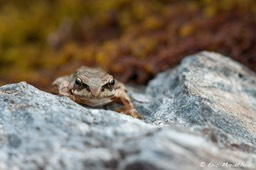grenouille_rousse-139