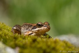 grenouille_rousse-251