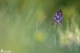 orchis_pourpre-54