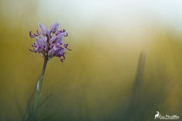 orchis_singe-12